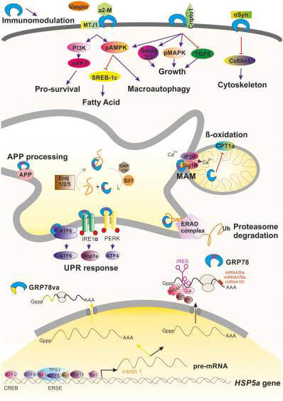 Grp78/BiP (HspA5) elicits multifunctional actions in various cellular compartments