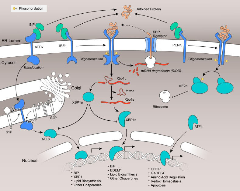The unfolded protein response (UPR)