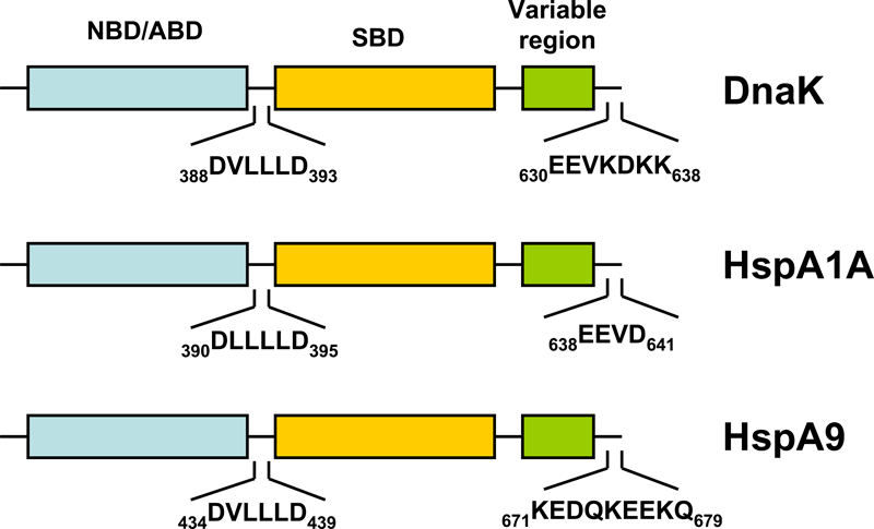 HSP70 structure diagram: Schematic representation of the domain structure of pro- and eukaryotic HSP70s
