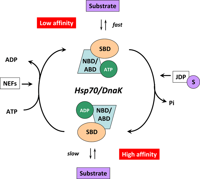 HSP70 Function -The Hsp70/DnaK chaperone cycle.