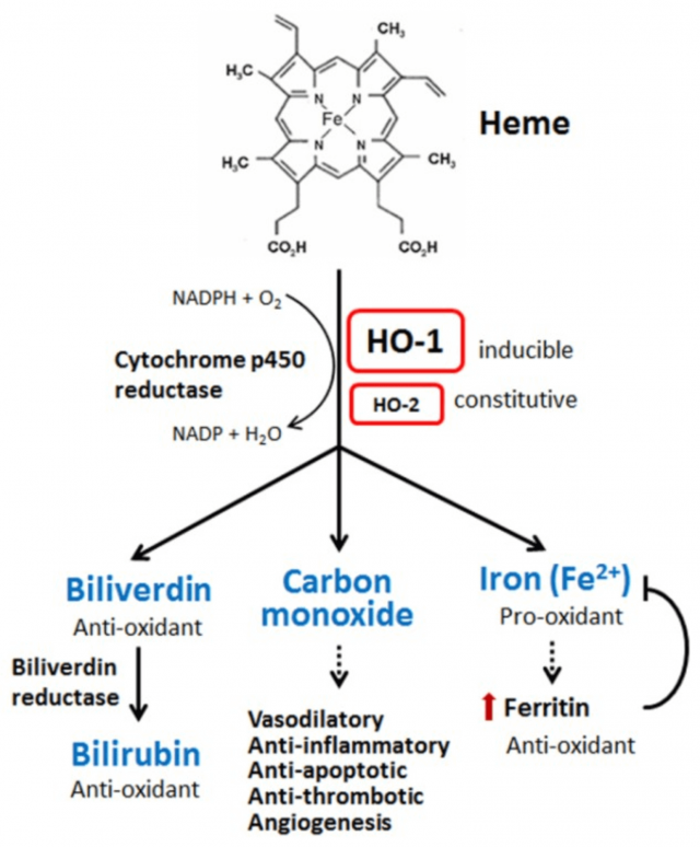 Oxidation of heme to biliverdin